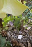 The Mourning Dove Nest #2