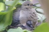 Mourning Dove And Chick