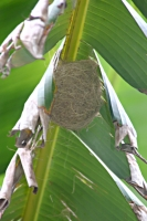 Hooded Oriole nest