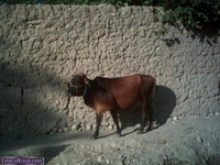 cow by